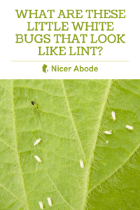 WHITE-BUGS-THAT-LOOK-LIKE-LINT-1